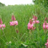 Sainfoin_flowers_at_Wildpark_-_geograph.org.uk_-_1570057