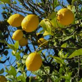lemon-tree-1878505_960_720