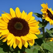 sunflower-1627188_960_720