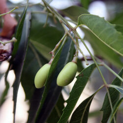 Unripe_Neem_fruits