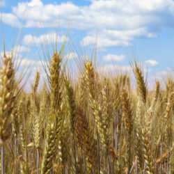 Free picture (Field of wheat) from https://torange.biz/field-wheat-27271