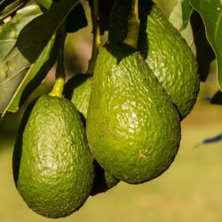 hass-avocado-945418_960_720