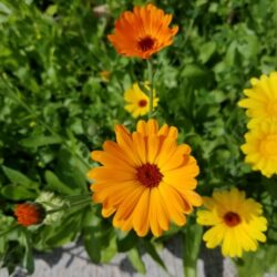 orange-and-yellow-marigold-flowers